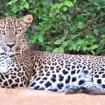 Sir-Lanka-Yala-National-Park's-leopard